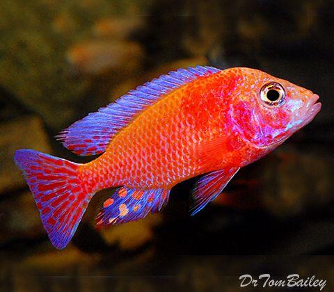 Male Strawberry Peacock Cichlid Featured Item Male Strawberry Peacock Cichlid Cichlids Fish Petfish Cichlid Fish Fresh Water Fish Tank Aquarium Fish