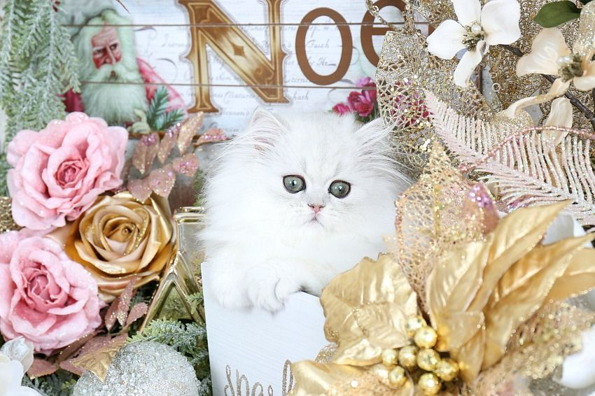 Victoria Click Here Designer Persian Kittens For Sale Luxury Kittens 660 292 2222 660 292 1126 Shipping Available Persian Kittens Persian Kittens For Sale Christmas Cats