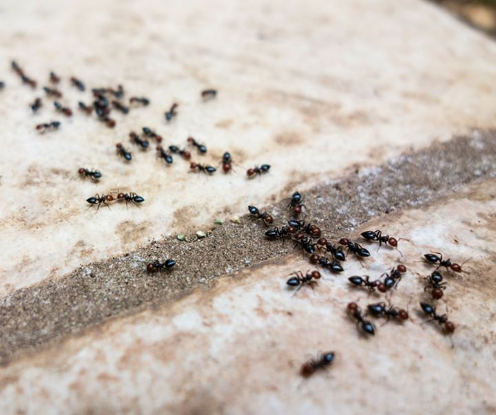 Ameisen im Haus bekämpfen Am, Haus and Im - was hilft gegen ameisen in der küche