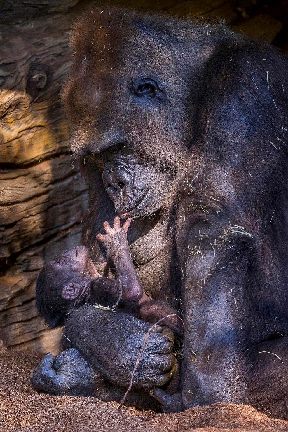 gorilla-born-8