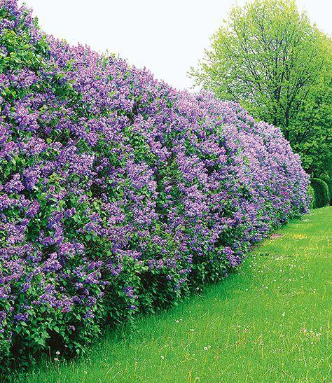 garten hecke #garden #garten Flieder-Hecke