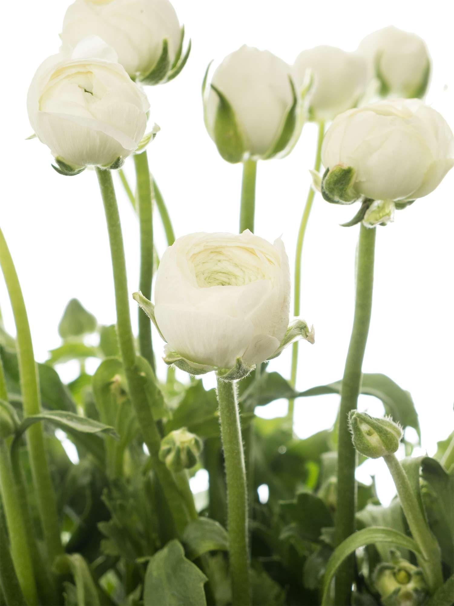 wei e ranunkeln der sorte 39 elegance white 39 und andere fr hjahrsblumen jetzt entdecken auf. Black Bedroom Furniture Sets. Home Design Ideas