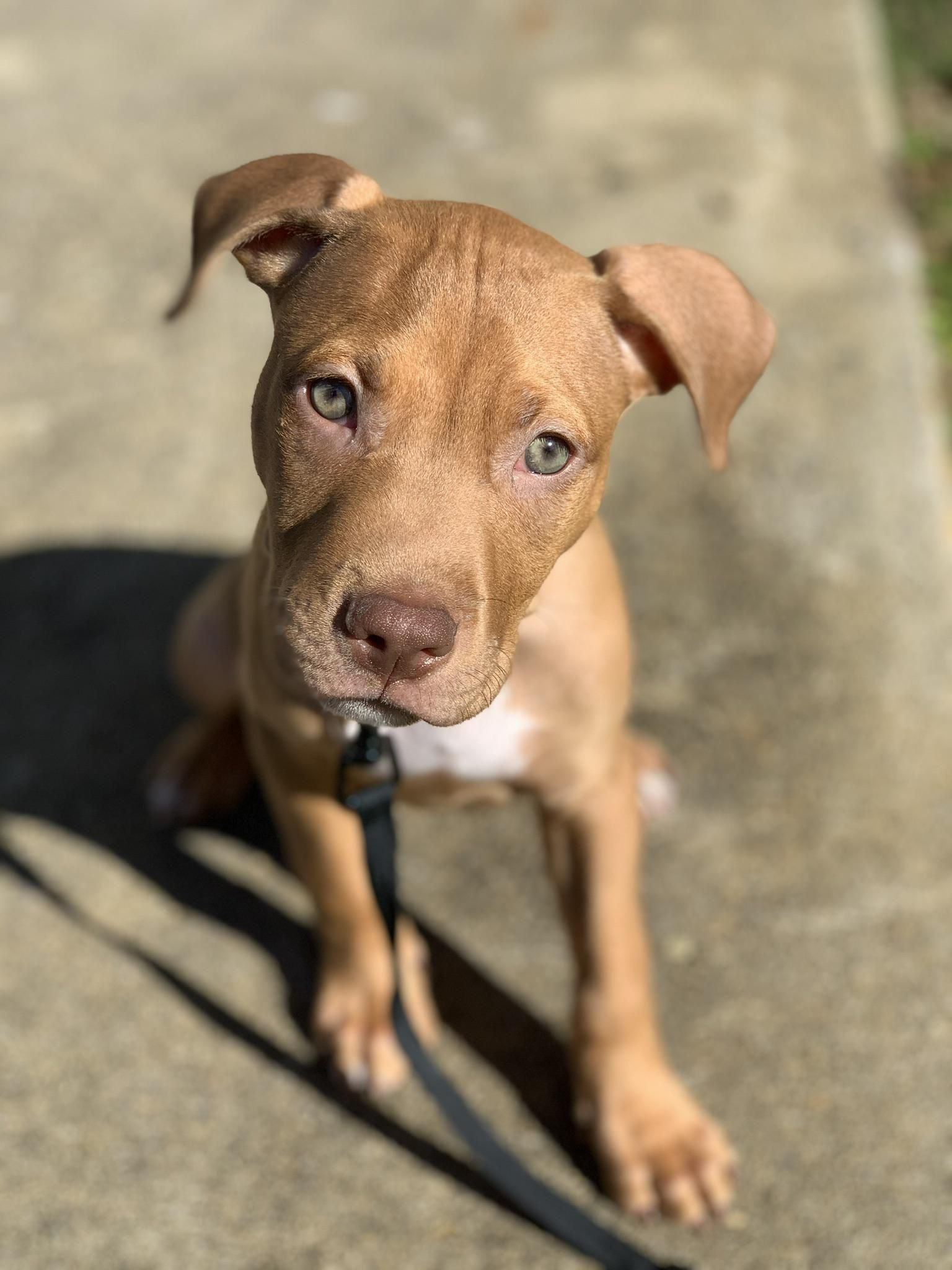 My 3 Month Old Red Santo Pitbulls Red Nose Pitbull Red Nose Pitbull Puppies Pictures Of Pitbull Puppies
