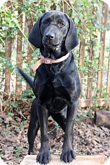 Bloodhound Labrador Retriever Mix Dog For Adoption In Natchitoches