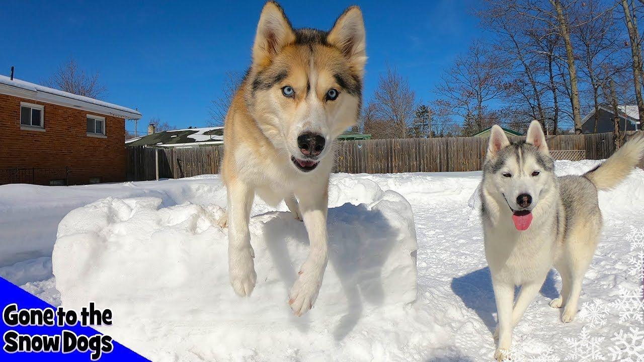 Snow Agility Course Huskies Do Agility On A Snow Course Snow