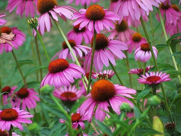 Purple Coneflower Bravado Greeting Card For Sale By Ginger Adams In 2020 Planting Herbs Echinacea Flower Essences