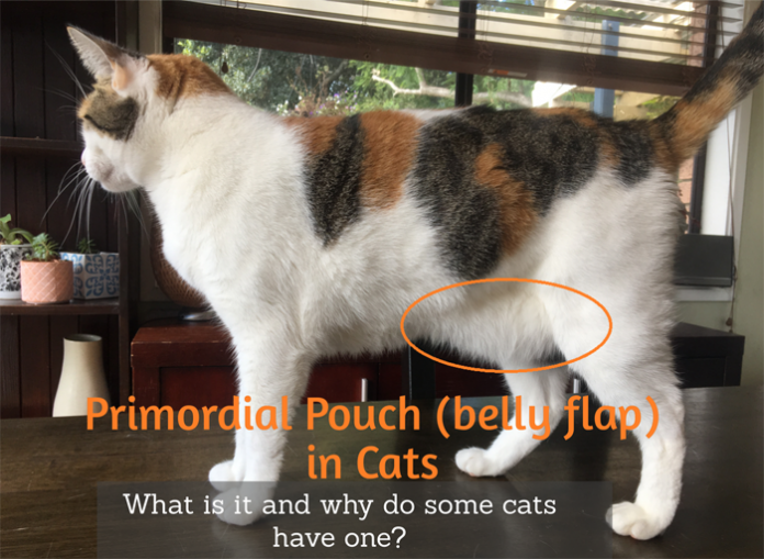 Primordial Pouch (Cat Belly Flap) What is it? Cat