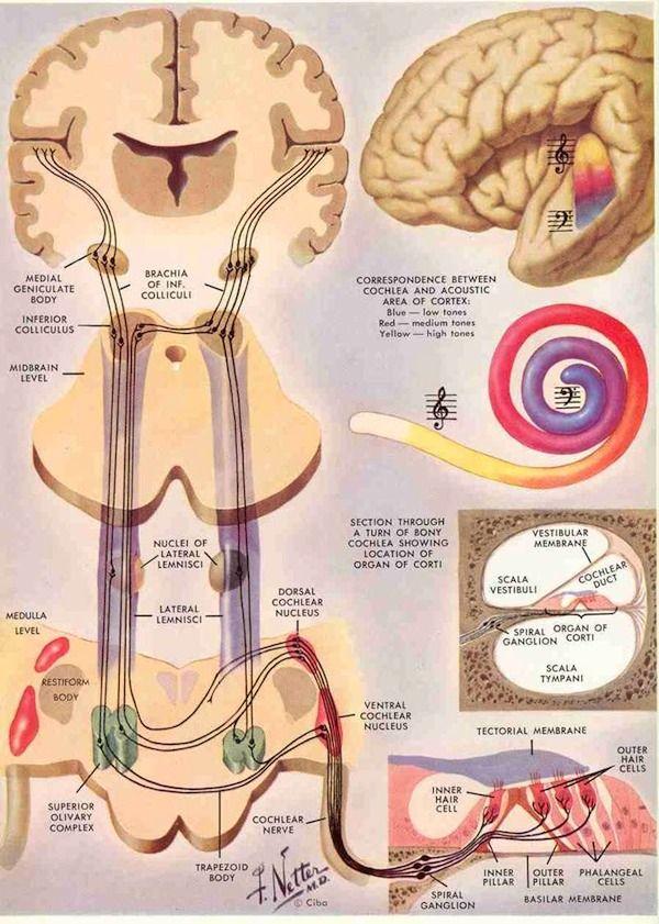 BasicsAuditorySystem-600px.jpg (600×841) | Anatomy and Physiology ...
