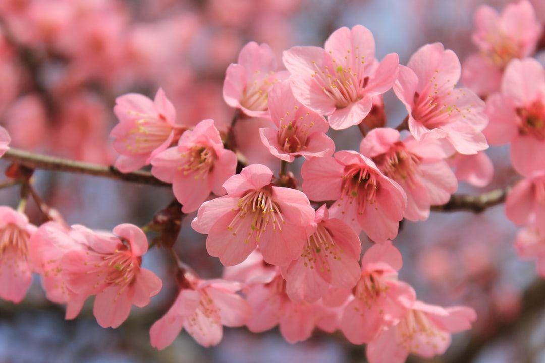 The Ultimate Thailand Travel Guide Cherry Blossom Flowers Flower Aesthetic Cherry Blossom Art
