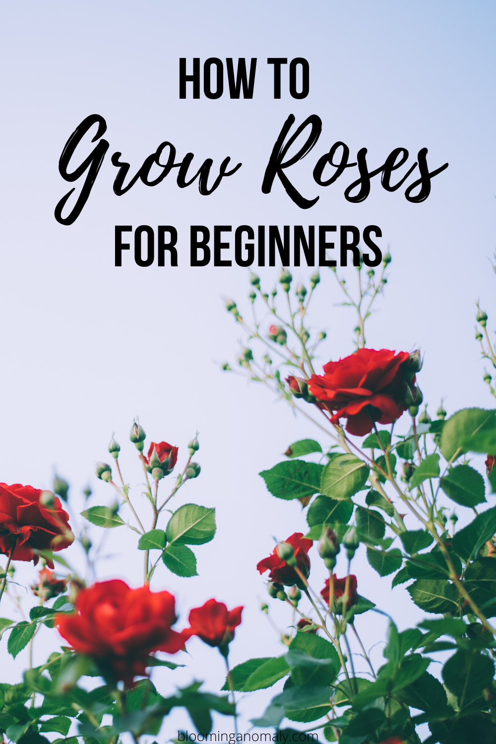 How To Grow Roses For Beginners Modern Design Growing Roses Planting Rose Bushes Planting Roses