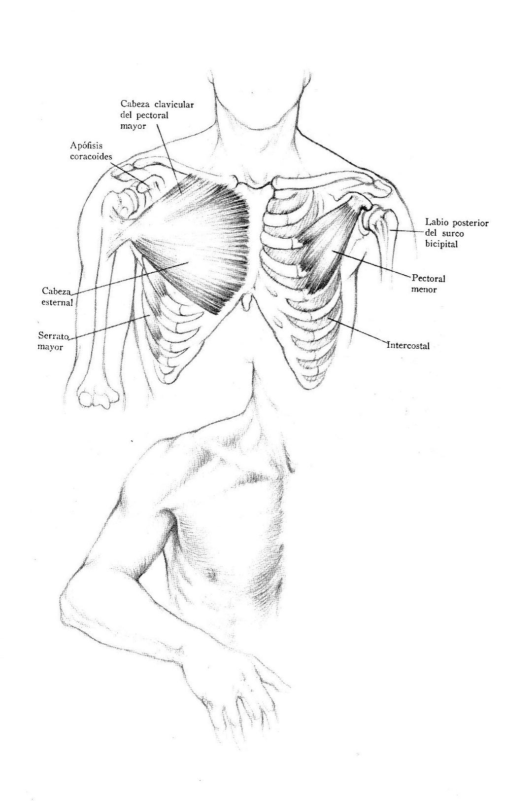 Músculos de la parte anterior del tórax | Dibujo anatómico de la ...