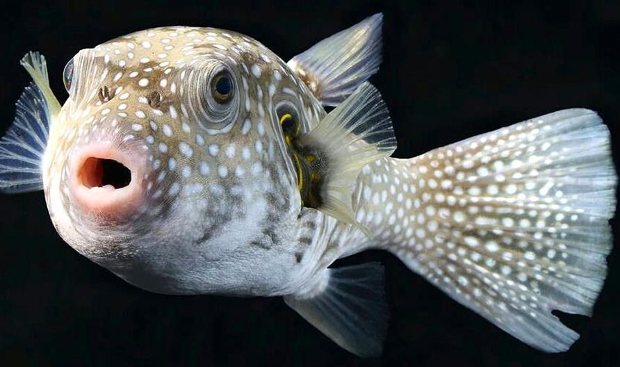 White Spotted Pufferfish Arothron Hispidus Is A Medium Sized Puffer Fish Light Grey In Color With Small White Spots It Also Has Con In 2020 Puffer Fish Fish White Spot