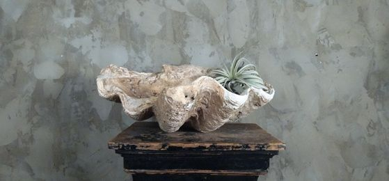 Fossilized Giant Clam, large. Almost entirely stone, fossilized over millions of years and now dug out of the mountainside in Indonesia. $1500