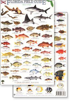 Fl fish identification related keywords suggestions fl fish fl fish identification related keywords suggestions fl fish identification long tail keywords sciox Choice Image