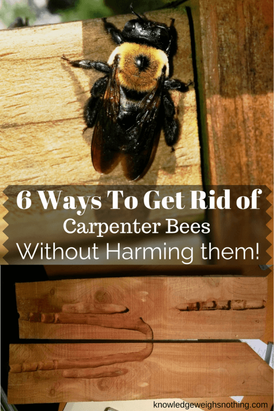 How To Get Rid Of Carpenter Bees 6 Bee Friendly Methods Https Knowledgeweighsnothing Com Get Rid Carpenter Bees Carpenter Bee Wood Bees Bee Repellent