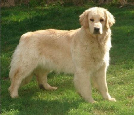 7 particularidades de la incre237ble raza de perros golden