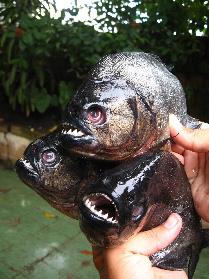 Black Piranha  Cousins of the Red Bellies  | Animals | Pirana fish