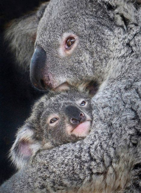 Koala kuddle by Stinkersmell on Flickr.