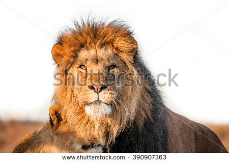 Two lions together on the savannah in the sunlight