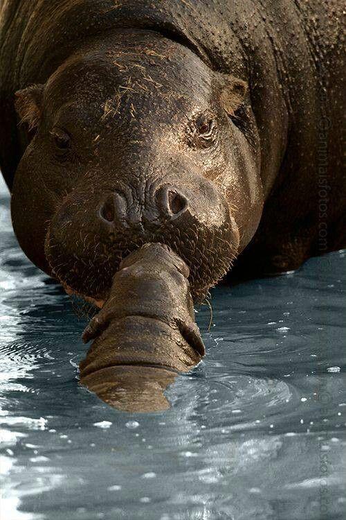 hippo mum & cub