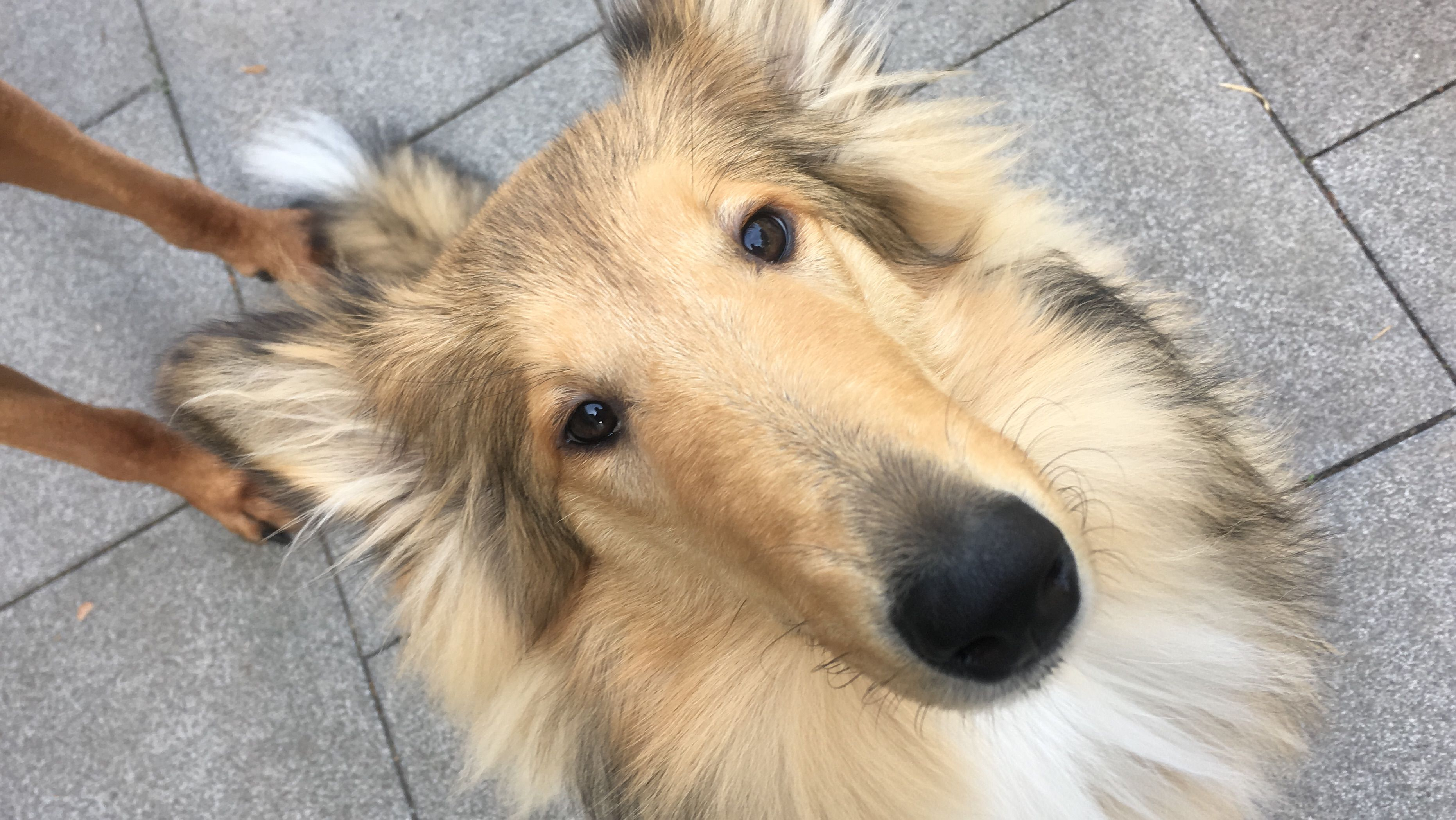 Mein Freches Madchen Rough Collie The Perfect Dog Collie