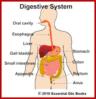 Accessory Organs Of The Digestive System Gorgeous Digestive System Ibs Oils Blends & Products Recommended Oils Inspiration Design
