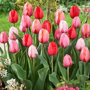 Darwin Tulip Bulbs Plant to Impress Mix | Tulipa | Large Healthy Bulbs for the Biggest Blooms