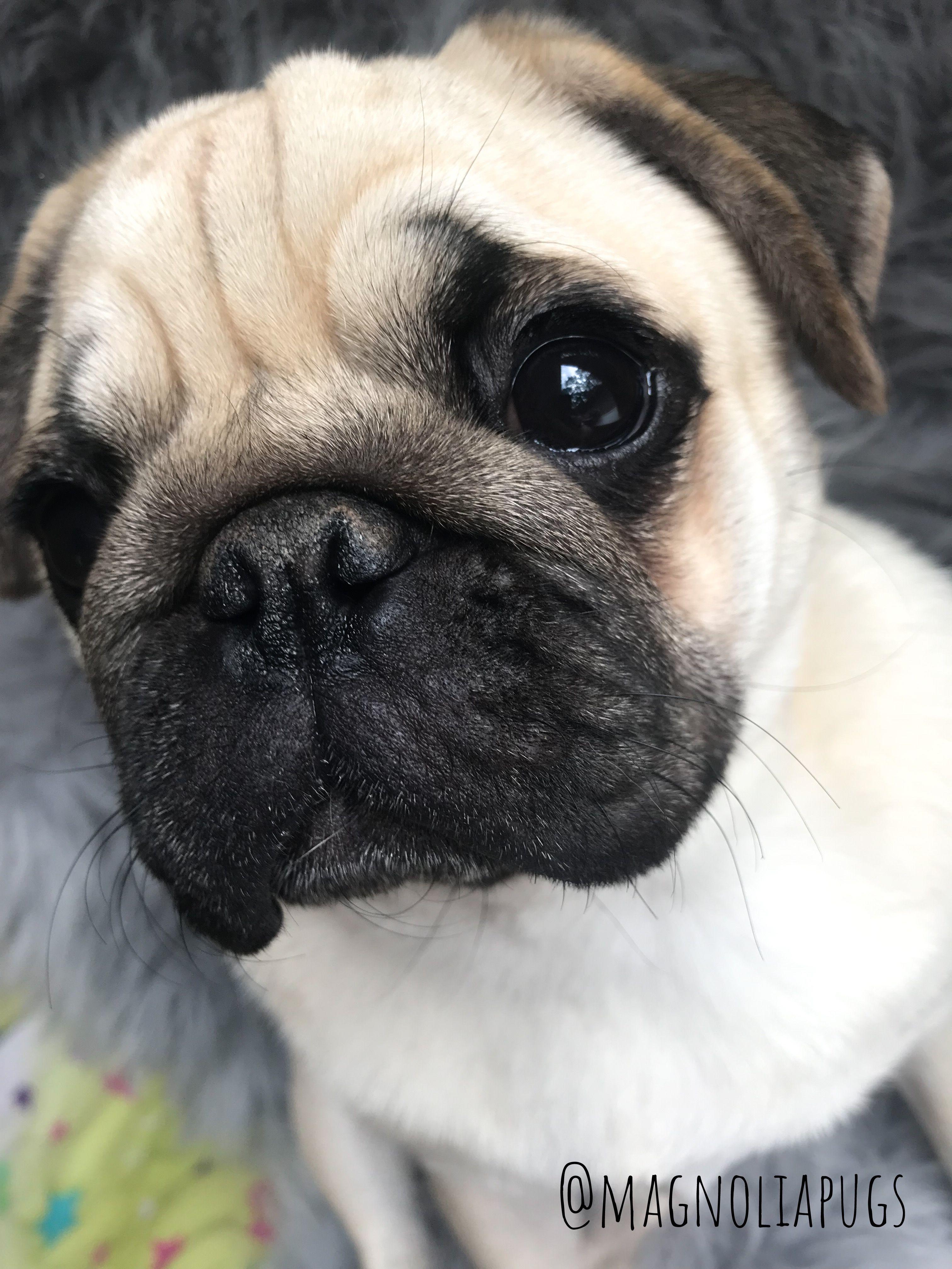 Pug Love Pug Love Pugs Pug Puppies