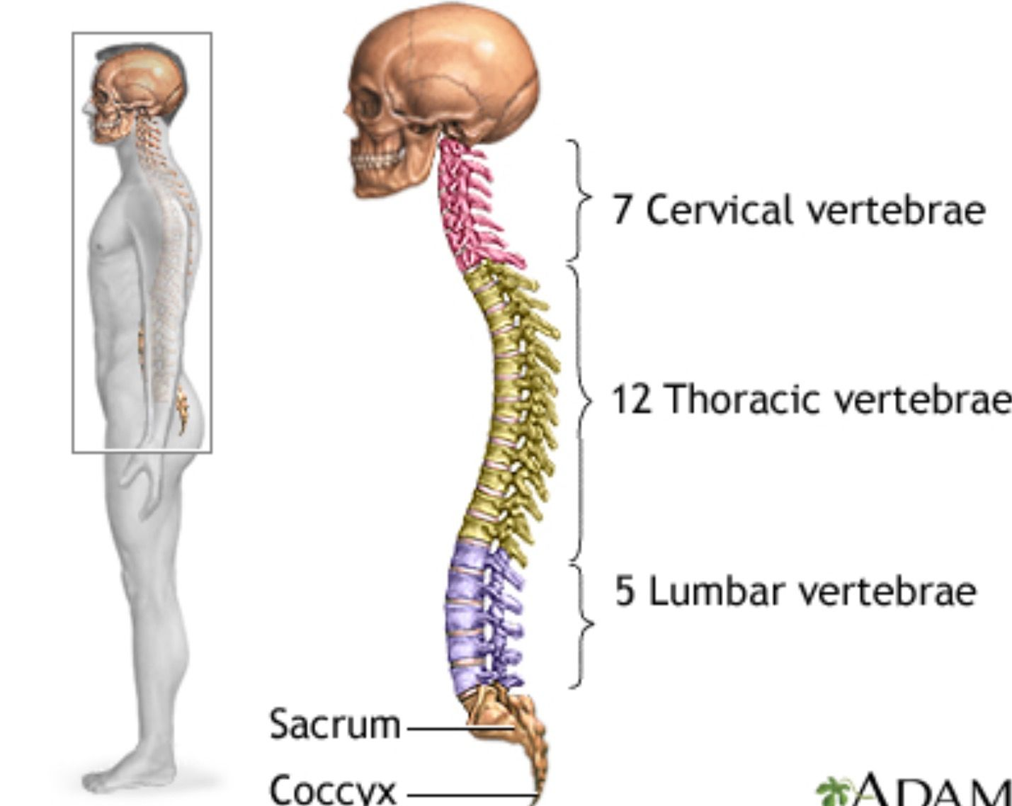 Pin by Cloudsurfer on Anatomy & Physiology | Pinterest