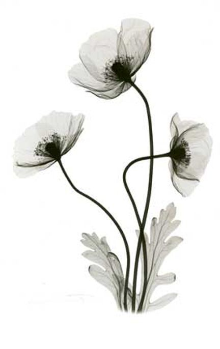 Exray Poppy Plants Google Search Poppies Tattoo Xray Flower