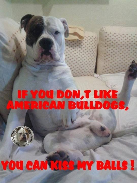 Pin On American Bulldog