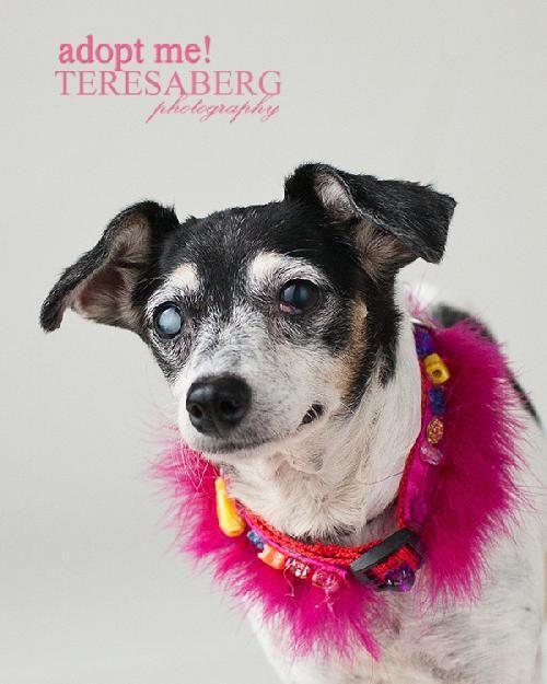 Adopt Disco Diamond Dog Adoption Fee 75 On Dog Adoption Rat Terriers Dogs Up For Adoption