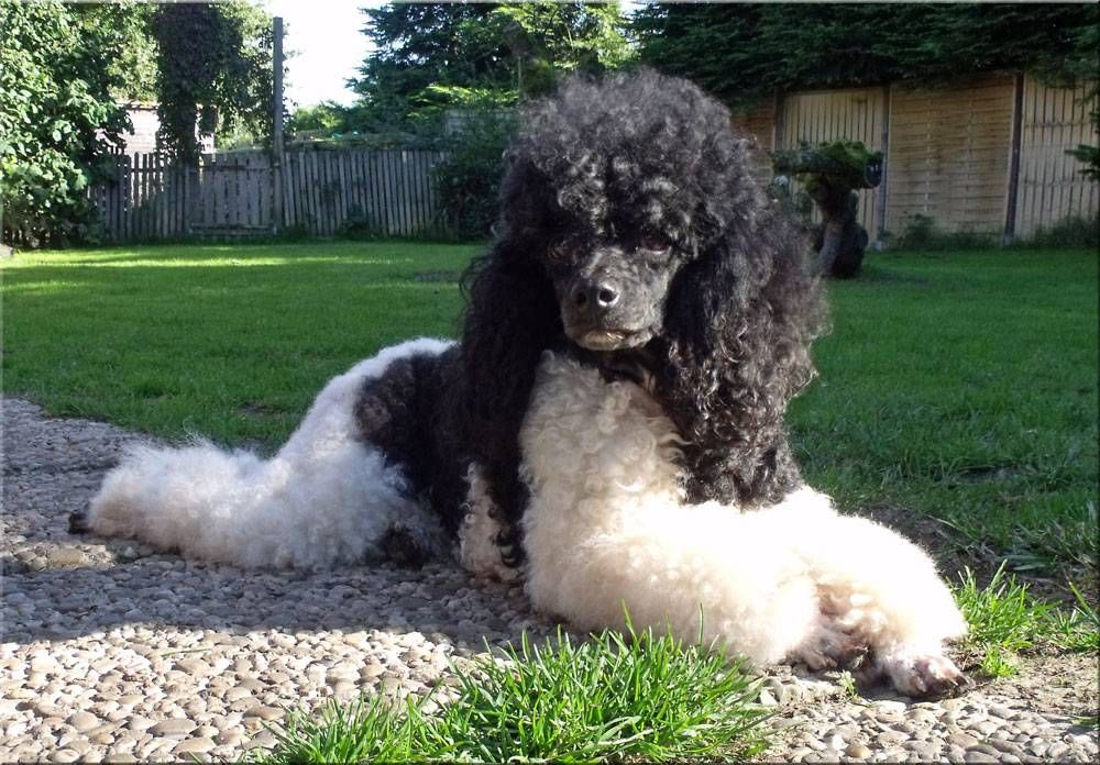77 Toy Pudel Harlekin In 2020 Dog Love Animals Animal Lover