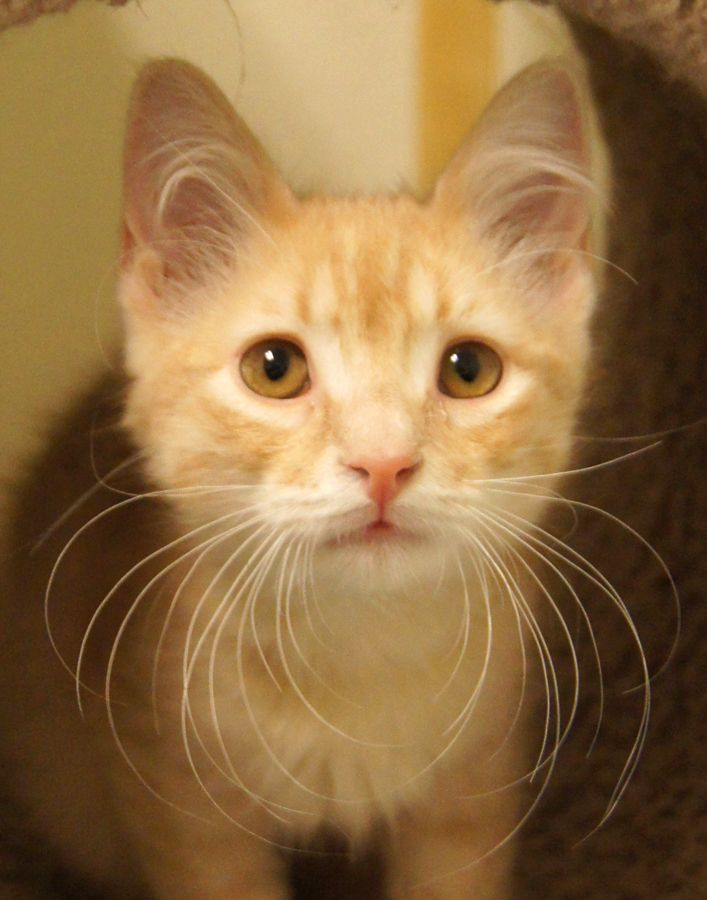 Mezar Is Another Star Baby From Happy Cats He Came Here With His Sisters Electra And Lyra They Re All Beautiful Little Oran Cat Love Happy Cat Little Kittens