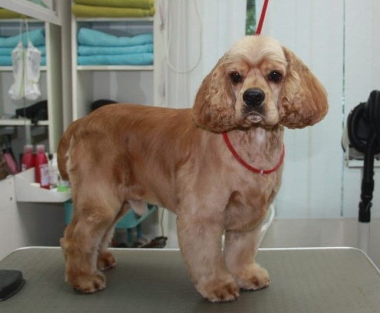 20 Best Cocker Spaniel Haircuts For Your Puppy Page 2 The Paws In 2020 Cocker Spaniel Haircut Cocker Spaniel Puppies