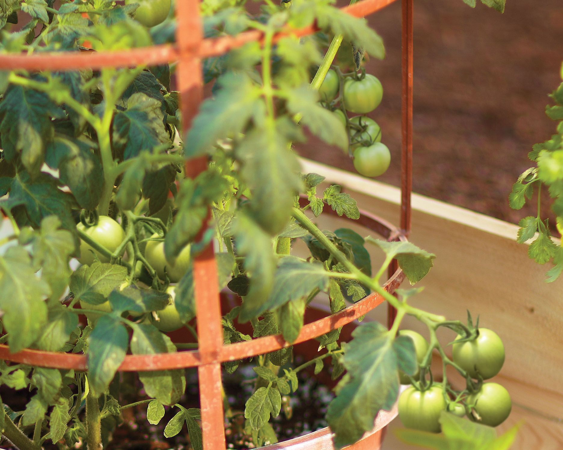 These 'maters aren't ready to pick (unless you're having fried green tomatoes for dinner). They'll turn red when they're ready--but how do you know when to harvest edibles that don't change colors? Click on to find out when your veggies are ripe for picking.