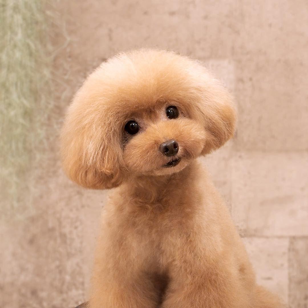 Poodle Haircut おしゃれまとめの人気アイデア Pinterest Chocolate Cake トイプードル 犬 プードルカット
