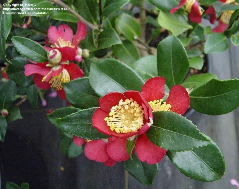 Camellia Sasanqua Yuletide Autumn Southern Garden Plants Front Yard Landscaping