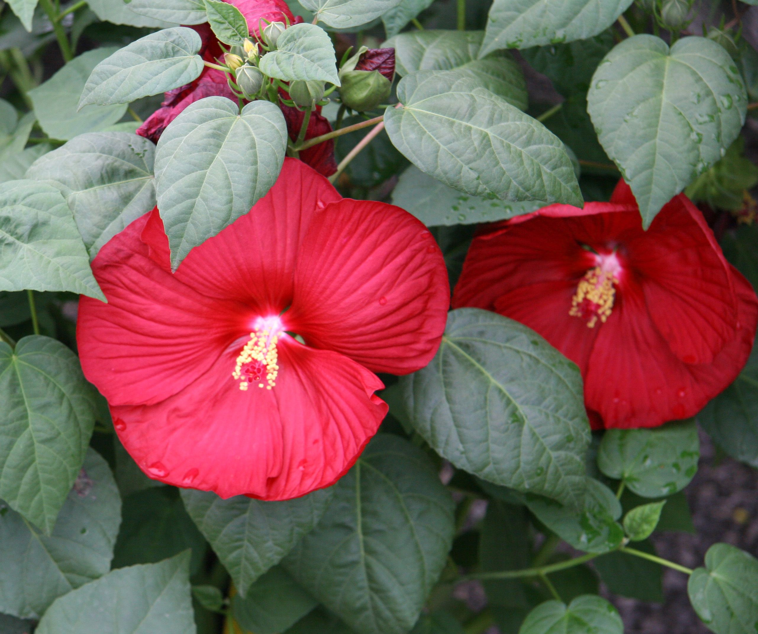 Perennial Hibiscus Plant nursery, Plants