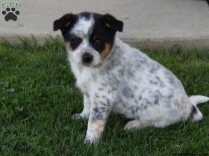 Free Blue Heeler Puppies Blue Heeler Puppies Cute Baby Animals