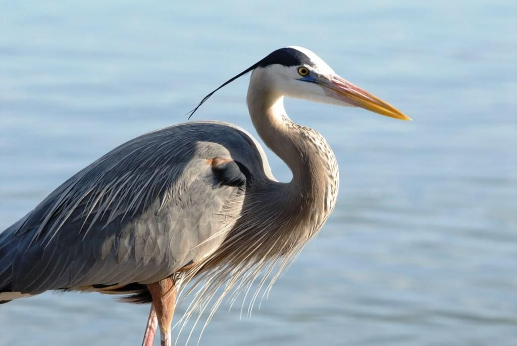 Aggressive Self Determination Self Reliance A Heron And Egret Totem