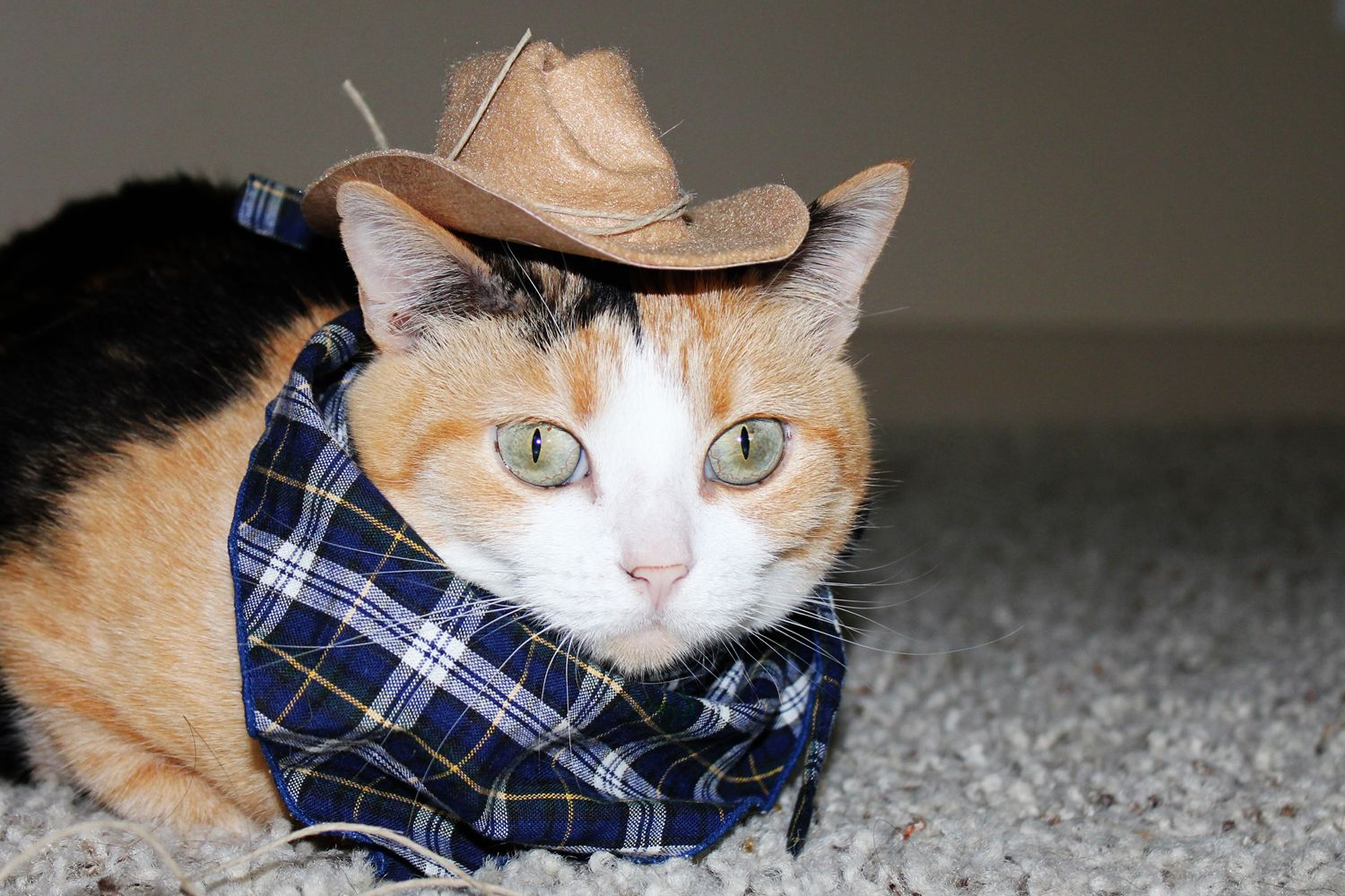 My cat Ock wearing a cowgirl / cowboy hat  She has never worn ...