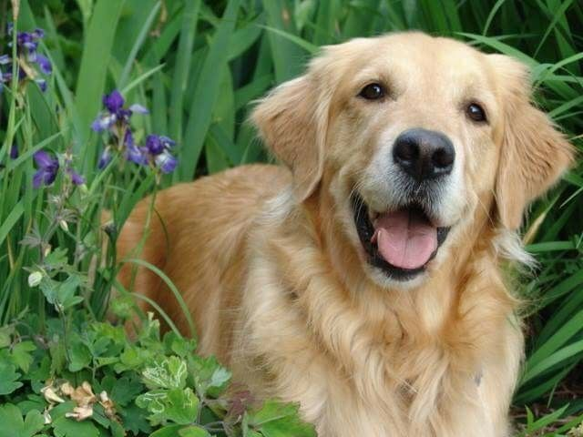 Pin By Ingrid Klass Agner On My Golden Years Dogs Best Dogs
