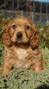 Cavador Puppies For Sale Pines Pets Puppies Puppy Breeds Beautiful Puppy