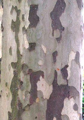 Platane corce semaine de tous les possibles for Faux olivier arbre