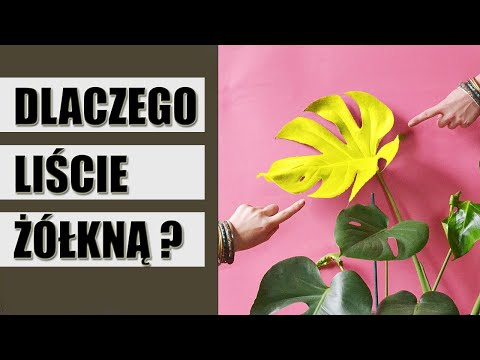 4 Dlaczego Liscie Roslin Zolkna Jak Uratowac Zolknaca Rosline Youtube Indoor Plants Plants Light Box