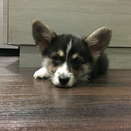 Tbt Mom And Dad Miss When I Was This Little Puppy Puppies Corgigram Corgidaily Corgigram Corgisofinstagram Corgisofig Corgi Corgi Dog Lovers Puppies