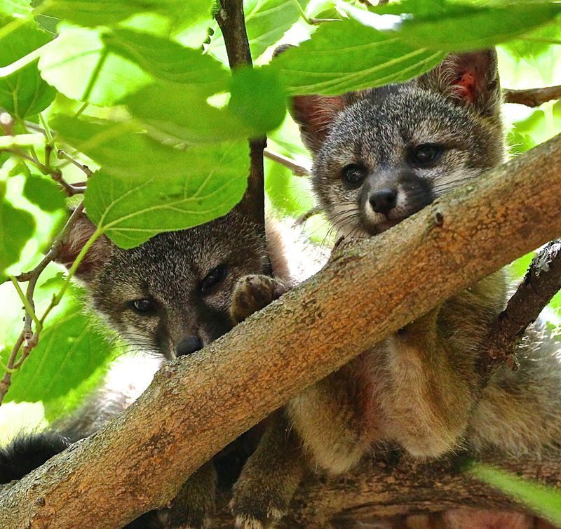 fox2 Napa Wildlife Rescue Wildlife, Napa valley, Animals