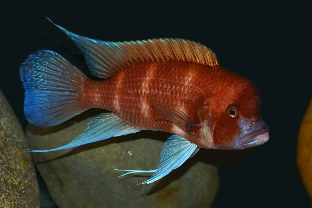 Red Frontosa Fish Tropical Freshwater Fish Cichlid Fish African Cichlids