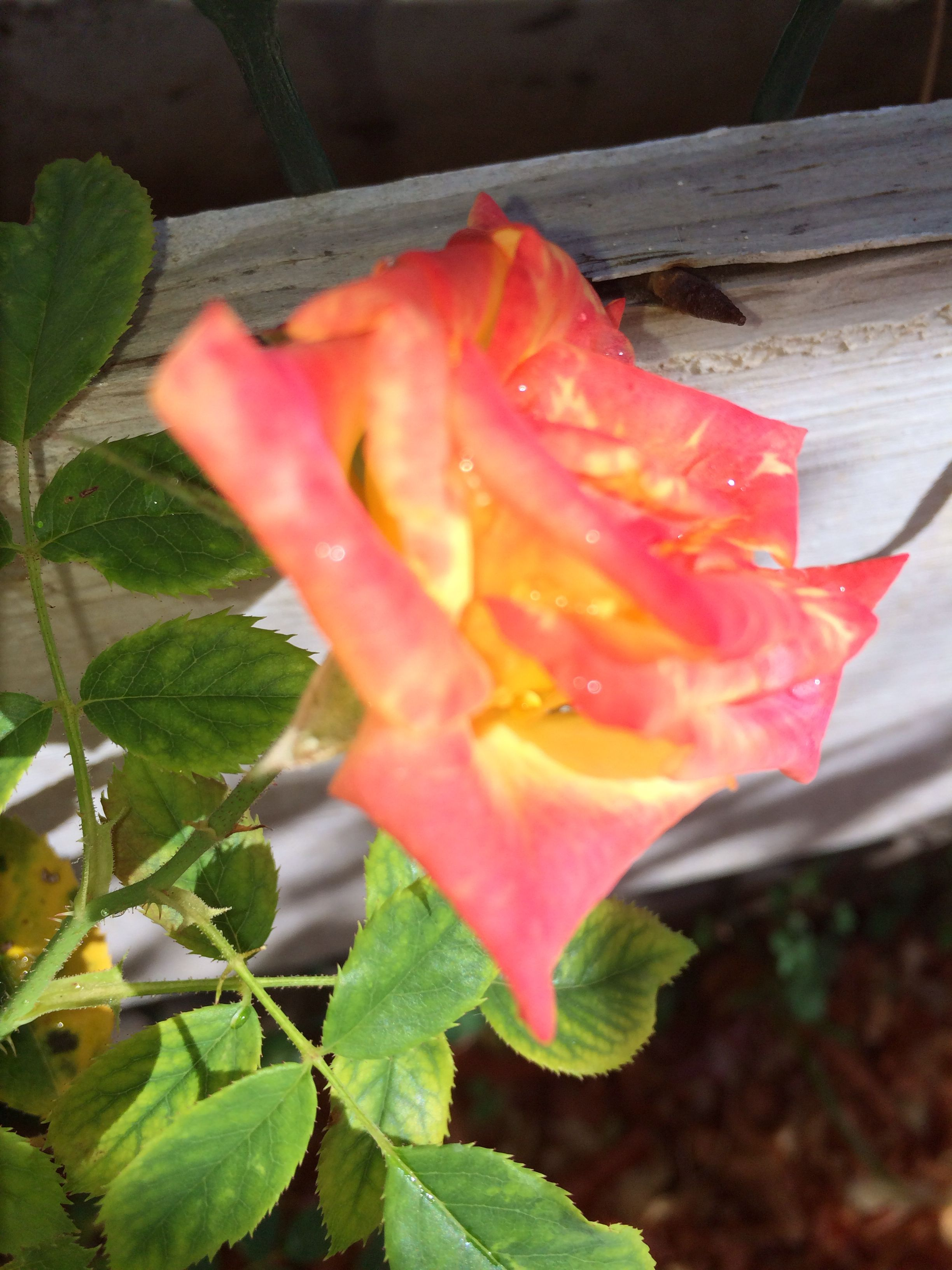 Pin by nessie mcnab on my garden pinterest rose and gardens